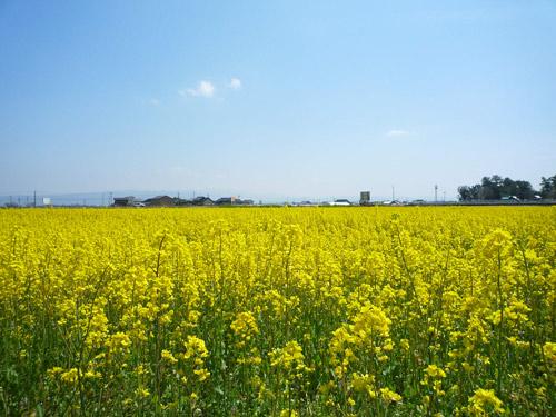 CCZの菜の花の季節